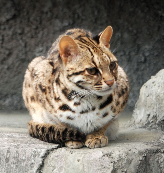 Wildcat. Felines like this leopard cat may have become domestic cats in ancient China. (Credit: Kuribo, Wikimedia Commons)