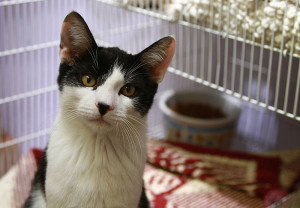 A cat in a cage at an animal shelter (Credit: Lisafern / Wikimedia Commons)