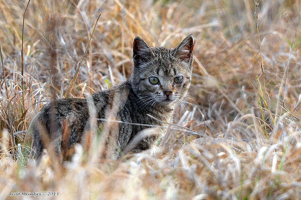 The Near Eastern wildcat: The ancestor of today's housecat (Credit: Arno Meintjes/Flickr)