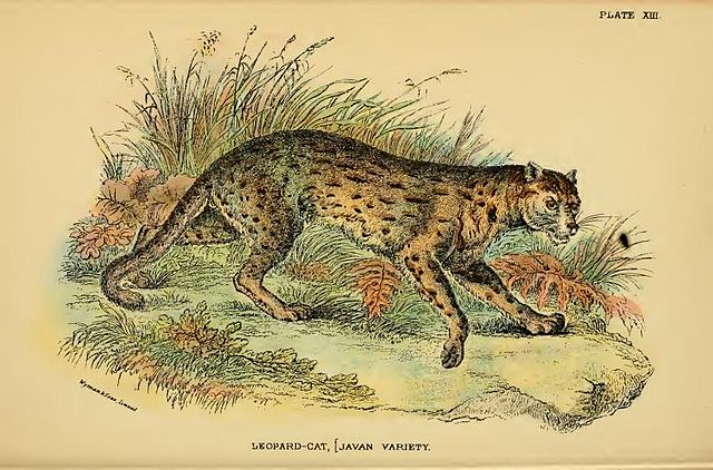 "Illustration of Javan leopard cat from Richard Lydekker's ""A hand-book to the Carnivora"", 1896"