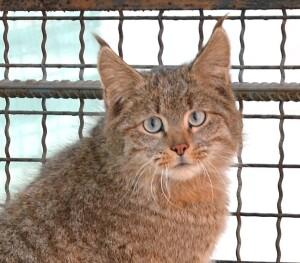 The Chinese mountain cat. (Credit: ???????  - Own work, CC BY-SA 3.0, https://commons.wikimedia.org/w/index.php?curid=31346955)